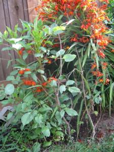 Dahlias making a comeback; Crocosmias are the orange bushel tied up